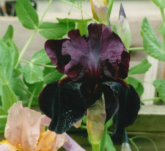 My one Black Iris plant