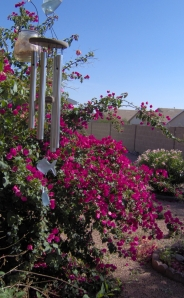 The Overgrown Bougainvillea